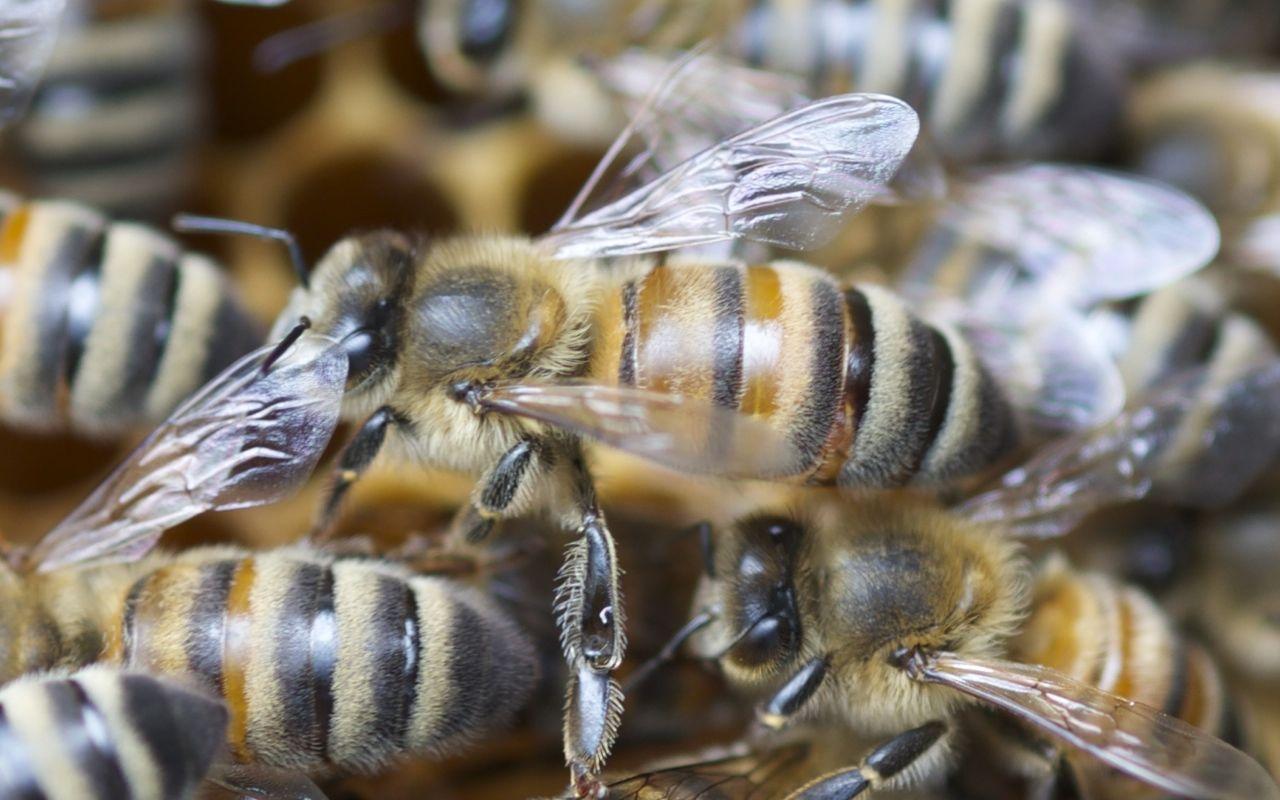Die Buckfastbiene